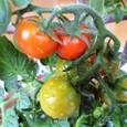 テラストマト レッドミニ